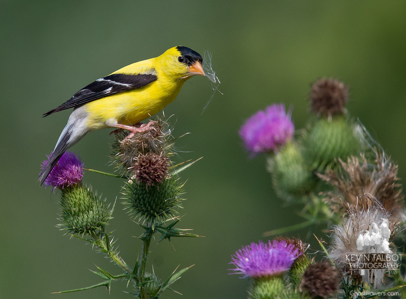Thistle have to do for photo of the day- American Goldfinch (Carduelis tristis) on Bull Thistle (Cirsium vulgare)... August 8, 2018.