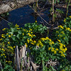 Today in a marsh near you-Marsh Marigolds (Caltha palustris)... April 26, 2018.