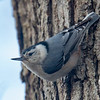 White-breasted Nuthatch (Sitta carolinensis)... April 5, 2018.