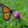Still showing at your local meadow- Monarch (Danaus plexippus) on Red Clover (Trifolium pratense)... July 27, 2018.