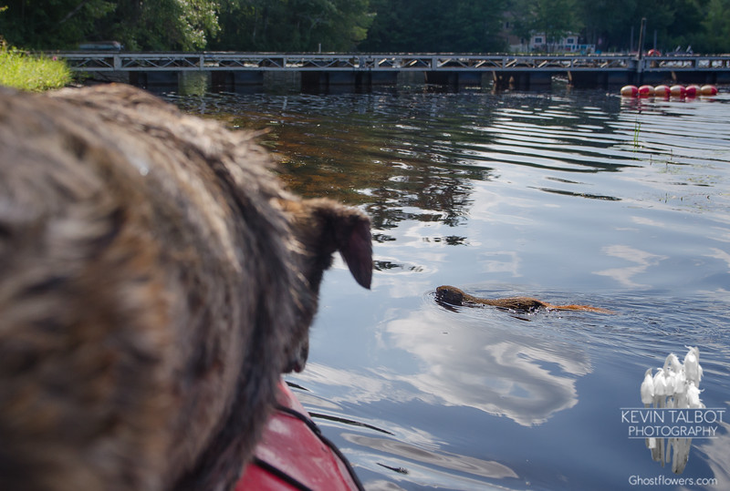 Look! There in the water! It's a beaver! It's a muskrat! Ummm, no. It's a red squirrel out for a swim. Little guy definitely has a great story for his grandkids about how he swam across the mighty Powow, then had to elude a ferocious Wicket... September 3, 2018.