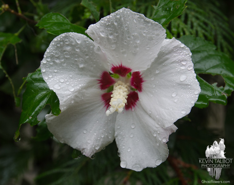 Beautiful, even in the cold rain- My neighbor's Rose of Sharon (Hibiscus syriacus)... October 2, 2018.