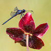 Today in a bog near you: Slaty Skimmer (Libellula incesta) on Purple Pitcher Plant (Sarracenia purpurea)... July 10, 2018.