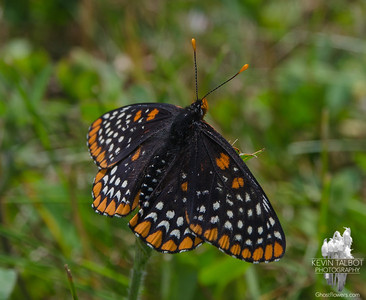 Today in a field near you- Baltimore Checkerspot (Euphydryas phaeton)... June 20, 2018.