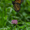 """Hello, I must be going..."" Today at Battis Farm- Monarch (Danaus plexippus) on Red Clover (Trillium pretense)... July 24, 2018."
