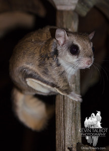 One of my little buddies on a full moon night - Northern Flying Squirrel (Glaucomys sabrinus)... February 28, 2018.