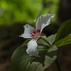 Today in a shady wood near you! Painted Trillium (Trillium undulatum)... May 16, 2018.