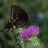 Today in a field near you- Black Swallowtail (Papilla polygenes) on Bull Thistle (Cirsium vulgare)... July 22, 2018.