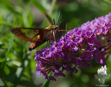 Today in the garden-Hummingbird Clearwing Moth (Hemaris thysbe)... August 19, 2018.