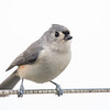 Visited me today- Tufted Titmouse (Parus bicolor)... October 28, 2018.