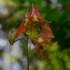 Down on the shady forest floor- Wild Columbine (Aquilegia canadensis)... May 24, 2018.