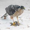 As I watch my wild friends, I often ponder how difficult their survival is. Yesterday I watched an incredible aerial display as a Downy Woodpecker out maneuvered this Sharp-shinned Hawk. Today as the snow began to fall  Mr. Junco gave his life that Mr. Sharpie might live another day. I write this as I sit inside by the fire, and the dog chows her food... Wicket, we've got it made... February 7, 2018.