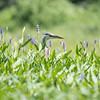 Today on a pond near you- Great Blue Heron (Ardea herodias) hiding in the Pickerel Weed (Pontederia cordata)... July 18, 2018.