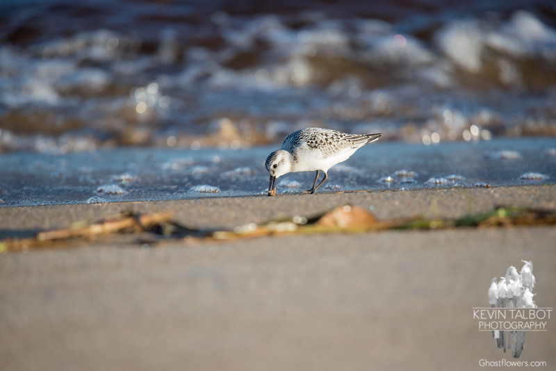 Late afternoon down by the waterline- Sanderling (Calidris alba)... October 5, 2018.