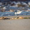 Late afternoon down by the waterline- Sanderling (Calidris alba)... October 5, 2018.