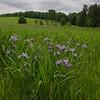 Today in a field near you-Blue Flag Iris (Iris versicolor)... June 1, 2018.