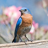 Mr. Bluebird with a Dogwood background... May 9, 2018.