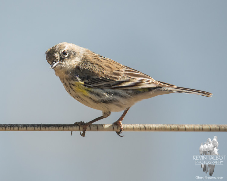 Same wire, different bird- A young female Yellow-rumped Warbler (Dendroica coronata) graced our presence today... April 18, 2018.