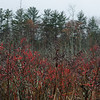 Rain drops and Winterberry-Today, in a marsh near you... November 13, 2018.
