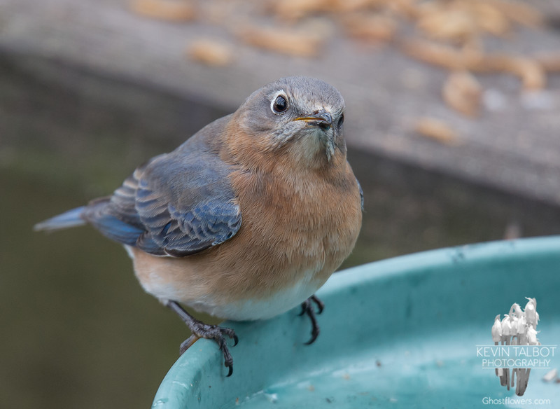 Catching up with Mrs. Bluebird... January 29, 2018.