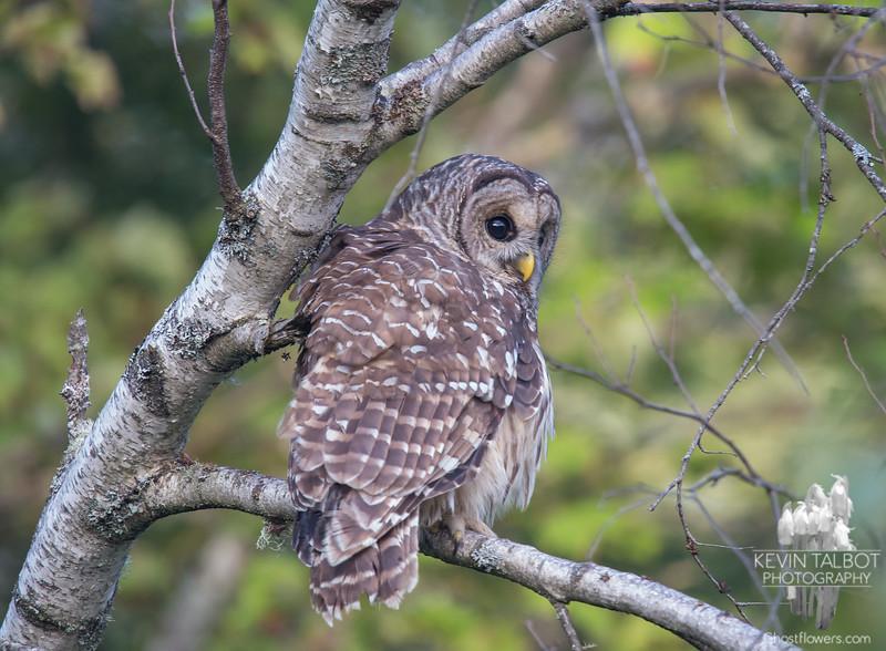 Barred Owl (Strix varia)... September 24, 2018.