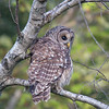 Barred Owl (Strix varia)... September 24, 2018.
