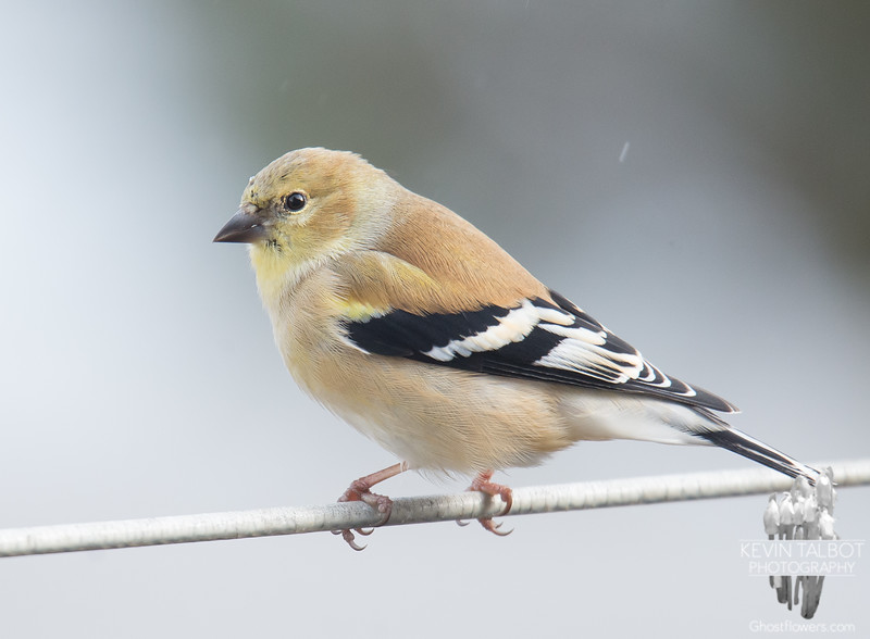 Just another little Goldfinch friend... January 10, 2019.