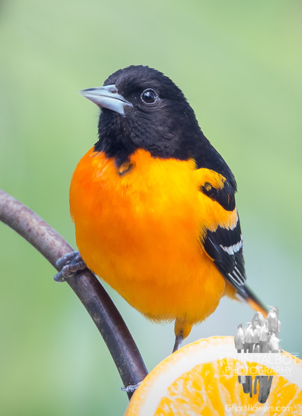 I will never grow tired of this sight- Such a poser- Mr. Baltimore Oriole (Icterus galbula)... May 21, 2019.