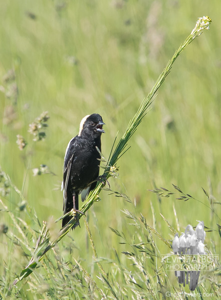 Today in a field near you- Mr. Bobolink sings his heart out in the sun... June 8, 2019.