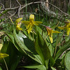 Down by the river- Trout Lily (Erythronium americanum)... May 6, 2019.