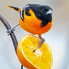The Boys are Back in Town- Baltimore Oriole (Icterus galbula)... May 5, 2019.