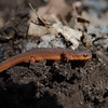 "Also in Season- Red Spotted Newt (Notophthalmus viridescens) They are born in an aquatic larval form, then live the next 1-3 years in this land form known as an ""eft"" before moving back to the water and becoming a larger aquatic newt... April 13, 2019."