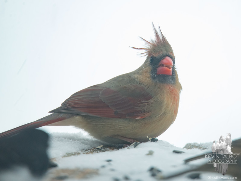 Mrs. Cardinal fueling up as the snow arrives this afternoon... February 12, 2019.