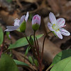 Today in Southeastern New Hampshire- Spring Beauty (Claytonia caroliniana)... April 16, 2019.