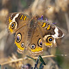 """""""I've been beat up and battered around,<br /> I've been sent up and I've been shot down...""""<br /> The Eyes Have It today in Salisbury-had to look this one up- Common Buckeye (Junonia coenia) Here's lookin' at you... October 24, 2019."""