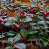 "Today on the forest floor in the rain- Wintergreen, also known as ""Checkerberry"" or ""Teaberry"" (Gaultheria procumbens)... November 20, 2019."