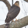 Dropped by today for lunch- Sharp-shinned Hawk (Accipiter striatus)... March 15, 2019.