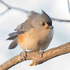 Unfazed by today's bluster- Tufted Titmouse (Parus bicolor)... November 30, 2019.