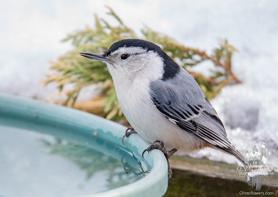Today at the ol' Watering Hole- White-breasted Nuthatch (Sitta carolinensis)... February 14, 2019.