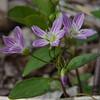 Can never get enough- Spring Beauty (Claytonia caroliniana)... April 29, 2019.