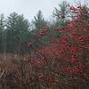 More Winterberry today along the Powow... November 19, 2019.