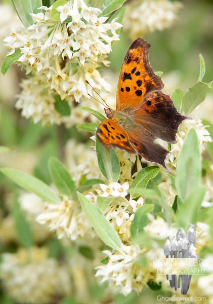 Hope he found a nice dry spot to hang when the rain came, Wicket & I got soaked on the way back to the car- Eastern Comma (Polygonia comma)... June 2, 2019.
