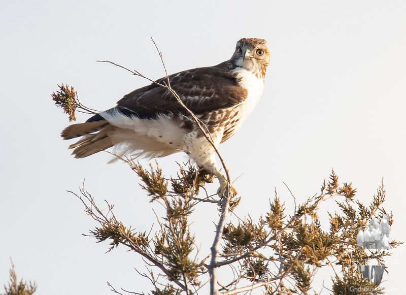 This is a female passage Red Tailed Hawk (Buteo jamaicensis) (Passage means last year's clutch) today in Salisbury... January 16, 2019.