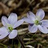 Can always use more of a good thing... New England's first Spring Ephemeral Round-lobed Hepatica (Anemone americana) These dime-sized wildflowers live out their flower stages before the first leaves unfold, taking advantage of the sun soaked forest floor before the canopy above sends it into shade for the rest of the summer... April 3, 2019.
