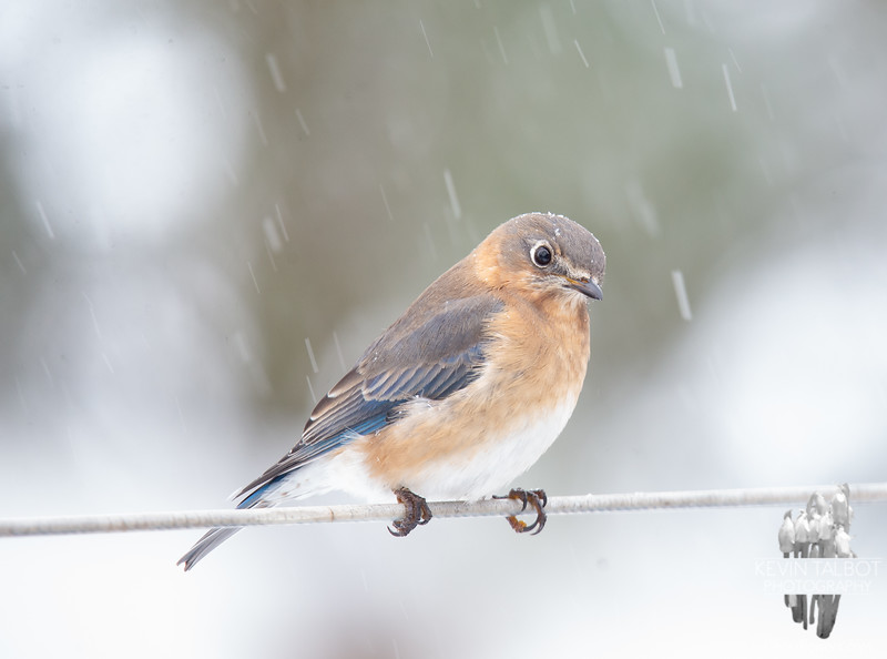 Just Mrs. Bluebird in the snow... December 17, 2019.