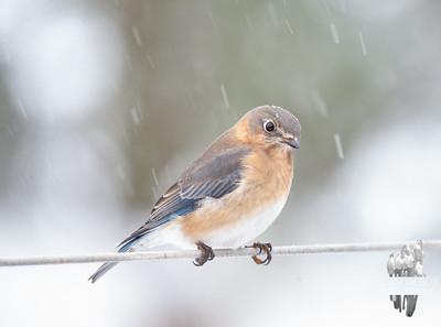 Just Mrs. Bluebird in the snow... December 17, 2019.