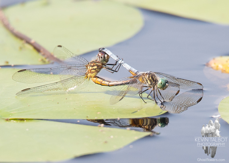 More Dragonfly Porn today on the Powow- Blue Dasher (Pachydiplax longipennis)... July 10, 2019.