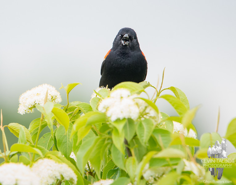 Getting your morning news from a Red-winged Blackbird-Priceless... June 5, 2019.