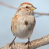 Little friend enjoying the bright sun- Tree Sparrow (Spizella arborea)... March 1, 2019.