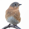 """Mrs. Bluebird dropped in today to say """"hello"""" despite the cold & wind... December 15, 2019."""